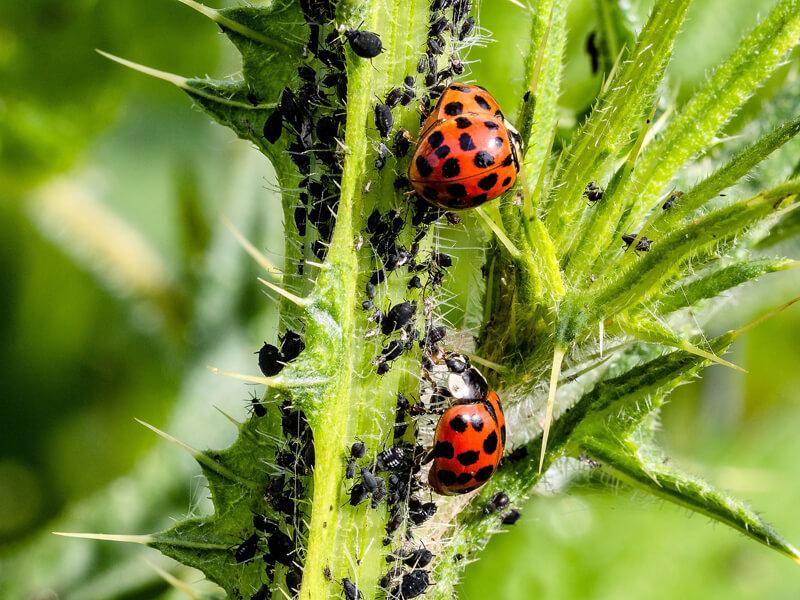 Blattläuse bekämpfen durch den Einsatz von Marienkäfern
