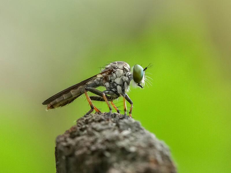 Raubfliege Jagdfliege (Asilidae)