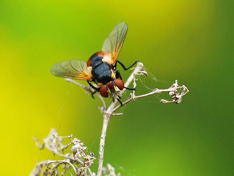 Raupenfliege Schmarotzerfliege (Tachinida)