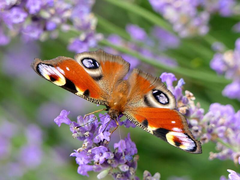 Schmetterling (Lepidoptera)