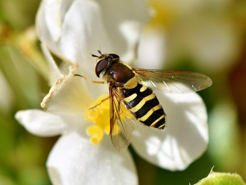 Schwebfliege Stehfliege Schwirrfliege (Syrphidae)