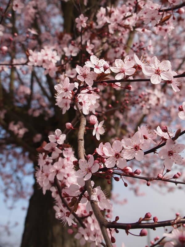 Baum als Lebensraum für Nützlinge