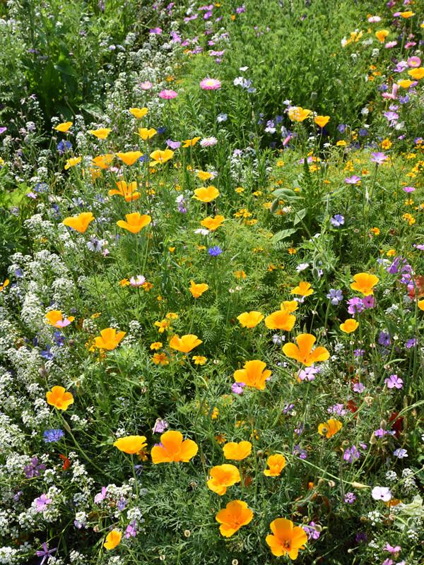 Bienenfreundlicher Garten durch die Aussaat von Blumenwiesen