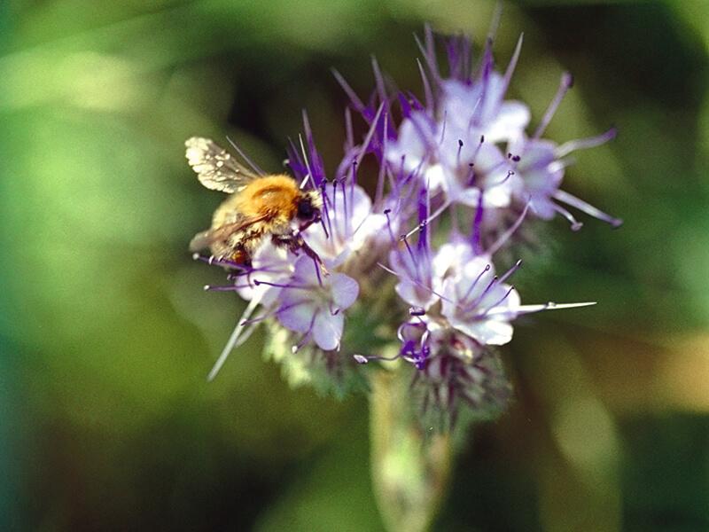 Die Gruendüngerpflanze Phacelia bietet ideale Nahrung für Bienen und andere Insekten.