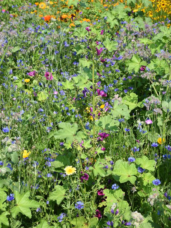 Blumenwiese für Bienen, Hummeln, Schmetterlinge und Co.