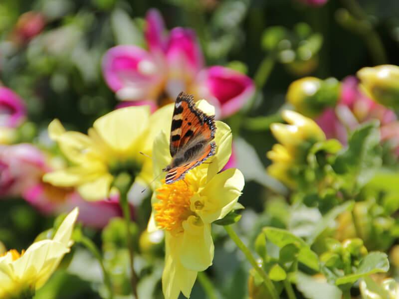 Blumenwiese anlegen mit Blumenmischung für Nützlinge