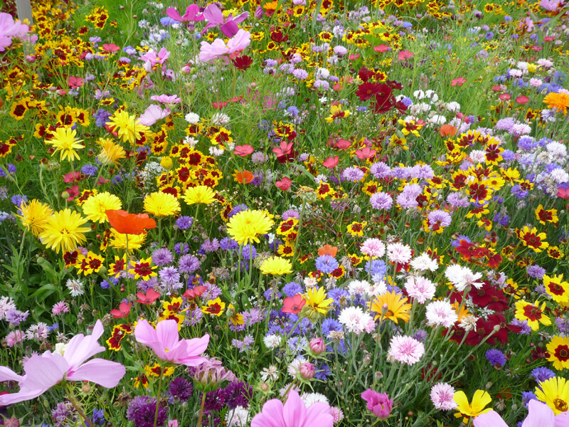 Saatgut für Blumenwiesen im Fachhandel kaufen