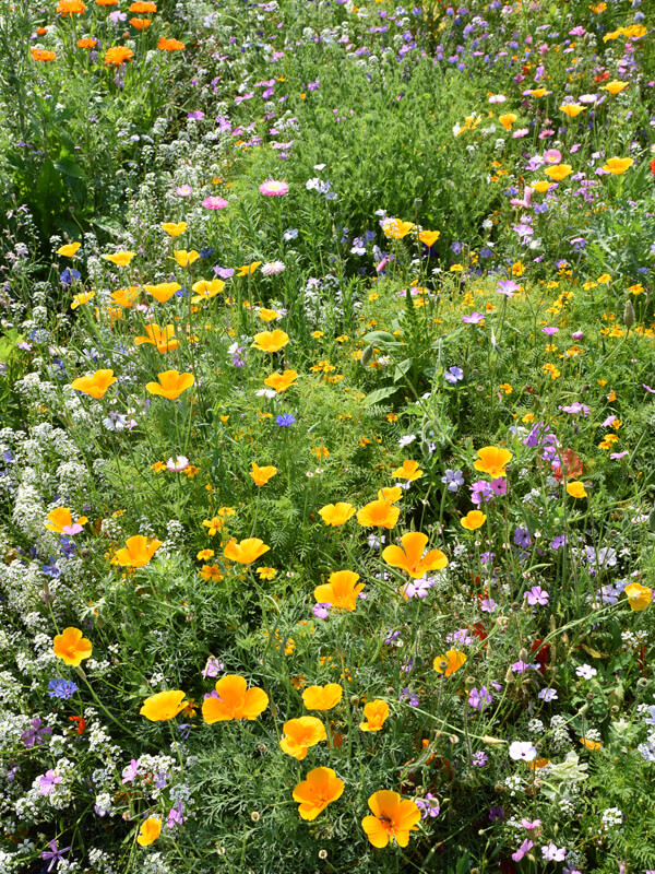 Blumenmischungen für Blumenwiesen und Bienenweiden