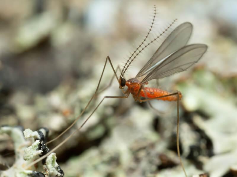 Gallmücke (Cecidomyiidae)