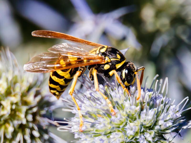 Gemeine Wespe (Vespula vulgaris) Deutsche Wespe (Vespula germanica)