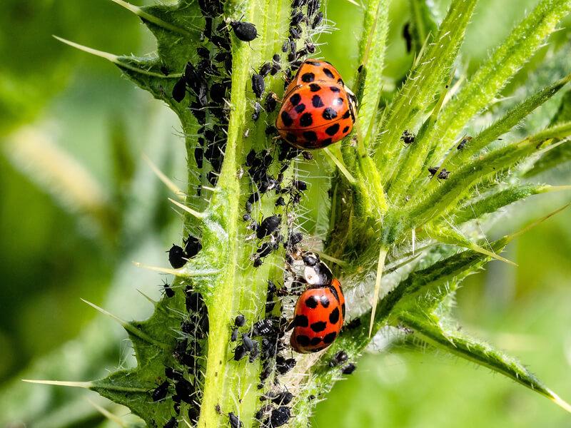 Marienkäfer fressen Blattläuse - Blattläuse bekämpfen durch den Einsatz von Nützlingen