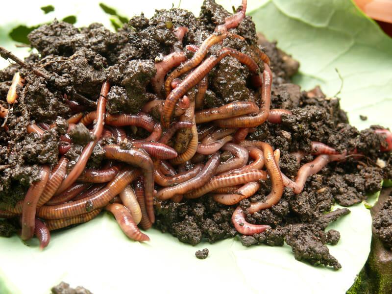 Wurmkiste bauen: Eisenia foetida, Eisenia andrei und Dendrobena veneta nutzen