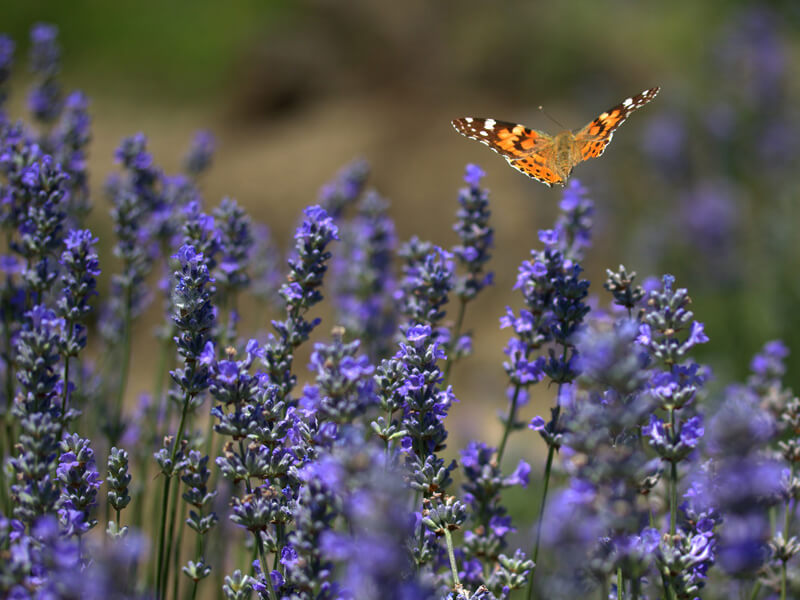 Kräutergarten anlegen - insektenfreundlich Anlegen leicht gemacht!