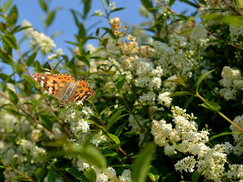 Ligusterhecke pflanzen: Nistplatz und Insektennahrung schaffen