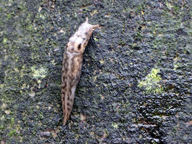 Schnegel / Tigerschnegel / Großschnegel / Egelschnecke (Limacidae)