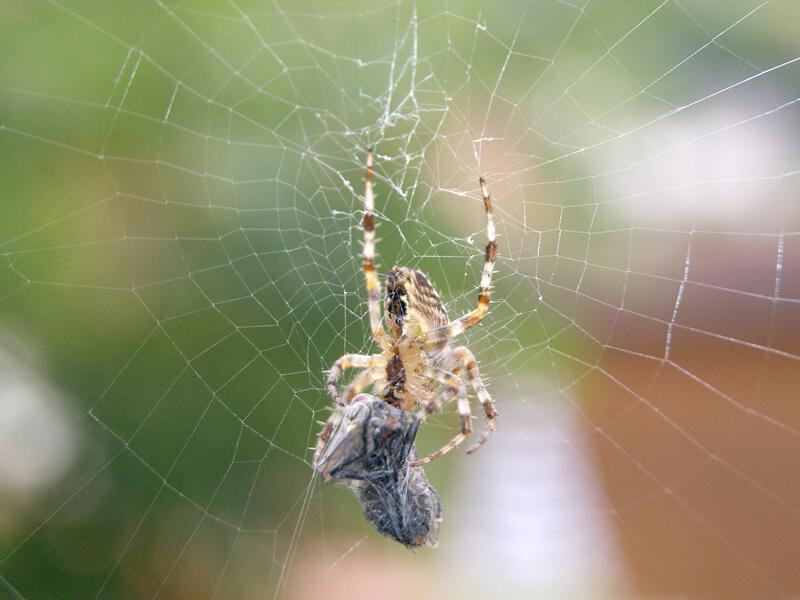 Spinnen fressen lästige Stechmücken