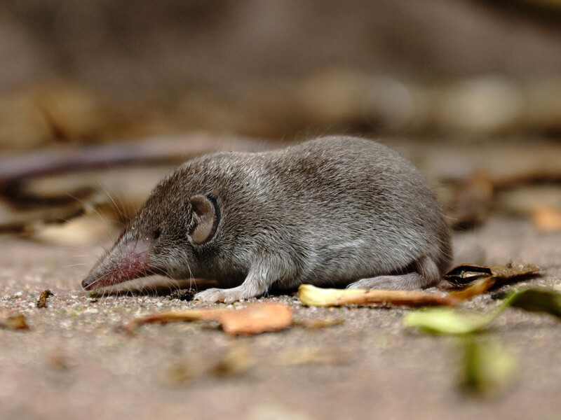 Spitzmaus Maus (Oricidae)