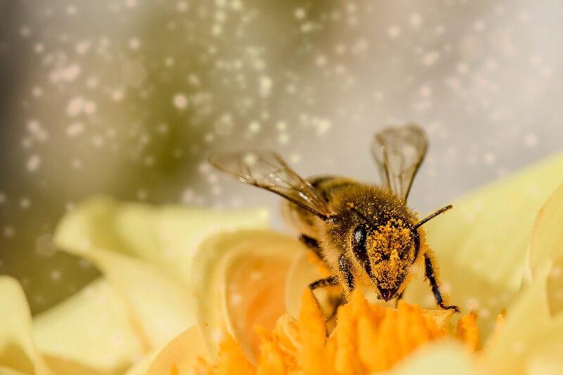 Biene auf einer Blüte zum Bestäuben